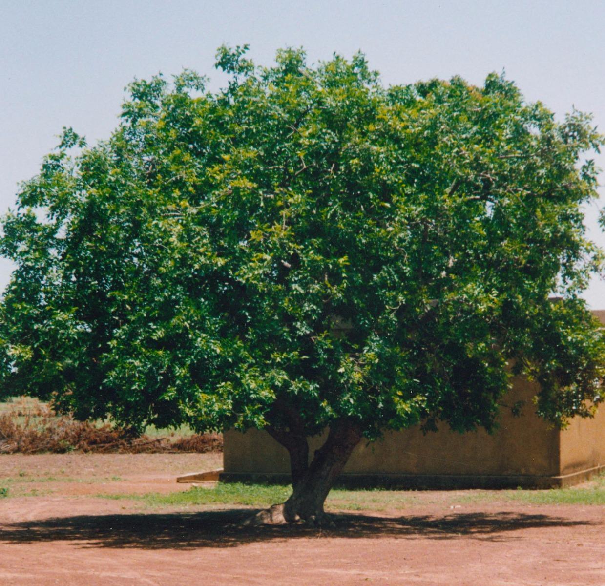 L'arbre à karité